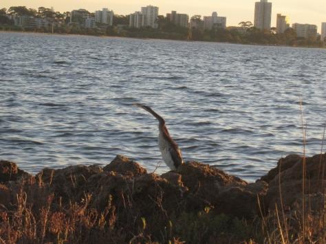 Pássaro engolindo um peixe inteiro em Perth, Austrália